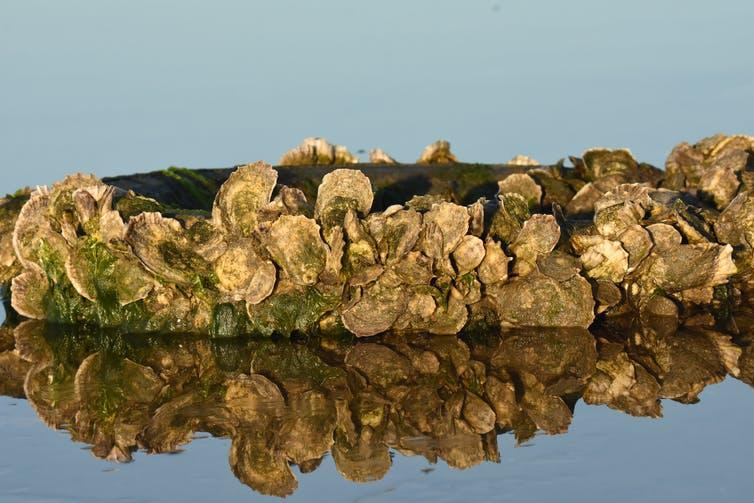 a Crassostrea virginica oyster bed